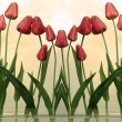Tulips on a white background — Stock Photo #9366983