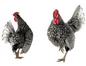 Cock and hen — Stock Photo