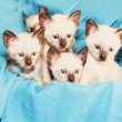 Siamese kitten - Stock Photo
