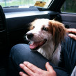 Dog în a grey background in the car — Stock Photo