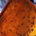 Bee în a yellow background — Stock Photo