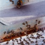 Bee în a blue background — Stock Photo
