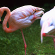 Flamingo, — Stock Photo