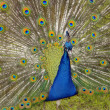 Peacock — Stock Photo #9436441