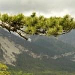 Pine — Stock Photo #9436653