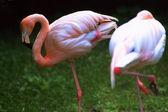 Flamingo, — Стоковое фото
