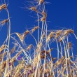 Wheat - Stockfoto