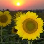 Sunflower — Stock Photo #9500835