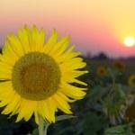 Sunflower — Stock Photo #9500873