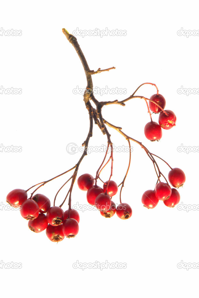 Red hawthorn on a white background — Stock Photo #9502670
