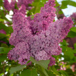 Lilac — Stock Photo #9511035