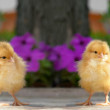 Stock Photo: Chick
