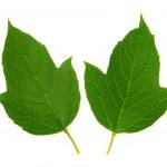 Guelder-rose leaf — Stock Photo #9513666