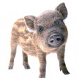Pig small — Stock Photo #9517066