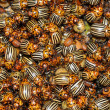 Potato bug - Stock Photo