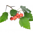 Red hawthorn — Stock Photo