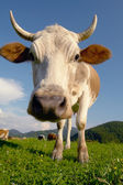 Cow on a green background — Stock Photo