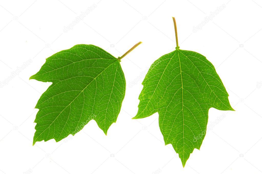 Как выглядят листья калины
