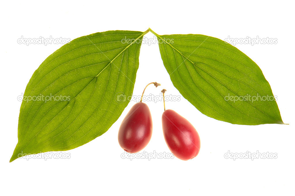 Cornelian cherry leaf on a white background — Stock Photo #9513883
