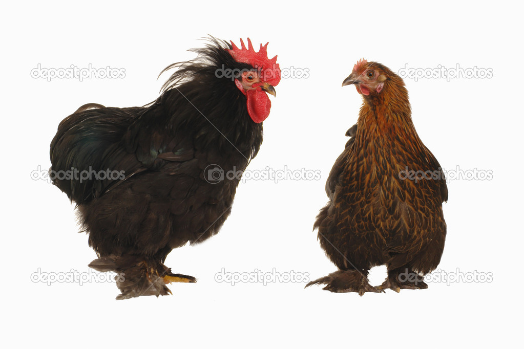 Cock and  hen on a white background  Stock Photo #9516375