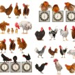 Twenty breeds of cocks on a white background — Stock Photo