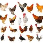 二十品种的白色背景上的公鸡 — 图库照片
