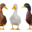 Duck white — Stock Photo #9520976