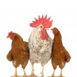 Cock and brown hen — Stock Photo #9521071
