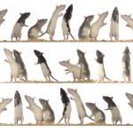 ratas — Foto de Stock   #9521291