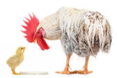Cock and chick — Stock Photo