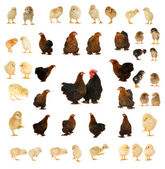 Black hen — Stock Photo