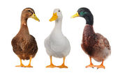 Duck white — Stock Photo