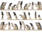 Rats — Stock Photo