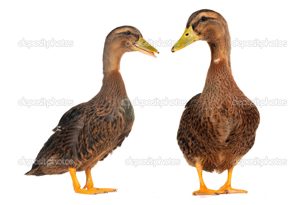 Two duck on a white background — Stock Photo #9521088