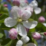 Spring flowering. — Stock Photo