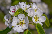 Flowering tree in spring. — Stockfoto
