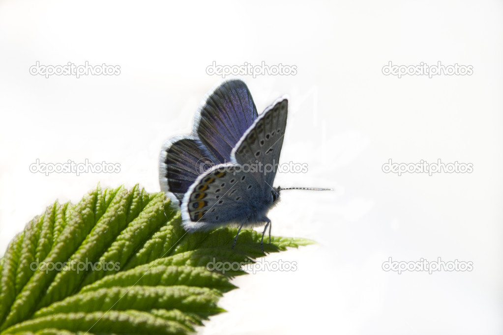 The moth of blue color sits on the green sheet of plant — Stock Photo #10523497