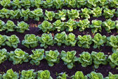 Lettuce field — Stock Photo