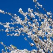 Almond flower — Stock Photo
