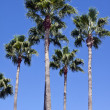 Palm tree — Photo