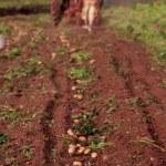 Potato field — Stock Photo #9510432