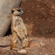 Meerkat in zoo — Stock Photo