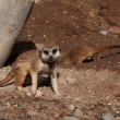 Meerkat in zoo — Stock Photo #9743210