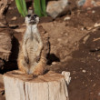 Meerkat in zoo - Stock Photo