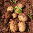 Potato field — Stock Photo #9844206