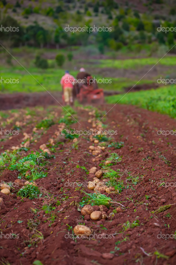 Working in potato field with old crawler — Stock Photo #9844239