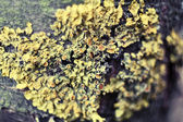 Macro photo of lichen on a tree — Stock Photo