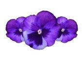 Roxos pansy flores — Fotografia Stock