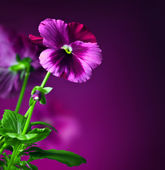 Pansy flowers border — Stock Photo