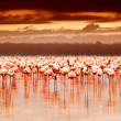Stock Photo: African flamingos on sunset